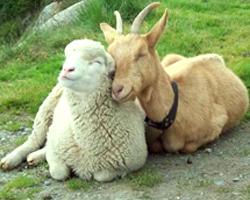 Гороскоп земляной козы